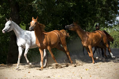 Galloping horses at pasture Royalty Free Stock Photos