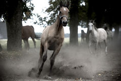 Galloping horses at pasture. In the dust Stock Photo