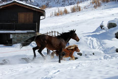 Galloping horses in Valtournenche. Horses galloping in the snow in Valtournenche hamlet of Cheneil (ITALY Stock Photos