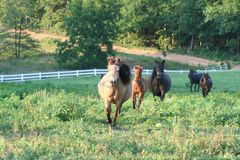 Galloping miniature horses. Herd of miniature horses galloping in countryside Stock Photography