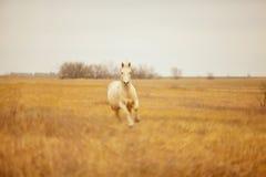 Galloping Palomino horse Royalty Free Stock Image