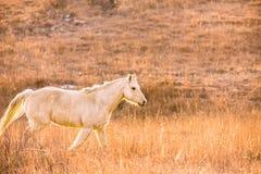 Galloping Palomino horse Stock Photos
