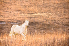 Galloping Palomino horse. Horizontal image of a palomino horse galloping up a hill. Image taken on February 22, 2016 Royalty Free Stock Photography