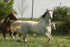 Galloping Pinto pleasure. Sometimes horses like this arabian pinto pleasure mix seem to fly over the meadow. With light steps they show their whole elegance Stock Image