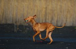 Galloping puppy. With toy ball Royalty Free Stock Photos