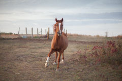 Galloping quarter horse. Quarter horse galloping on a ranch in Kansas Stock Photo