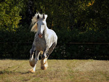 Galloping shire draft horse. In evening farm Royalty Free Stock Photo