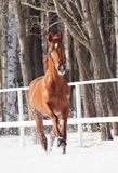 Galloping sorrel horse in snow paddock. Winter sunny day stock images