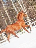 Galloping sorrel horse in snow paddock Royalty Free Stock Photo