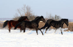Galloping stallions Royalty Free Stock Images