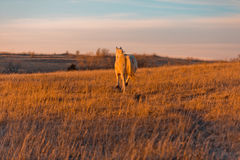 Galloping into the sunset. A Palomino horse galloping in a Kansas prairie during sunset Stock Photography