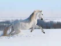 Galloping white horse. White horse galloping on snow hill Royalty Free Stock Photography