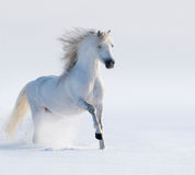 Galloping white horse. On snow field Stock Image