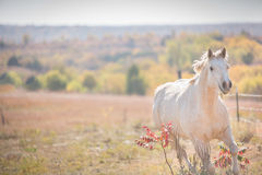 Galloping White Horse. Palomino horse galloping in a field on an autumn day Royalty Free Stock Photography