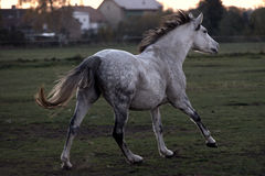 Galloping white horse Stock Photo