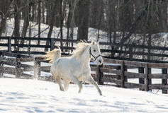 Galloping White Horse Stock Images