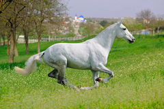 Galloping white horse in spring field. Galloping white horse in green spring field Royalty Free Stock Image