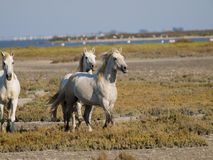 Galloping white horses in France Royalty Free Stock Photos