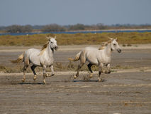Galloping white horses in France Stock Photo