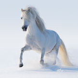 Galloping white Welsh pony. On snow field Stock Images