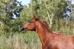 Galloping young arabian  stallion on pasture Royalty Free Stock Photography