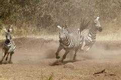 gallopping的斑马牧群 免版税库存照片