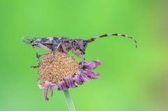 Galloprovincialis del monochamus Fotografie Stock Libere da Diritti