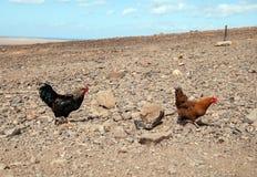 gallos Fotos de archivo