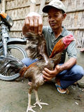 gallos Fotografía de archivo