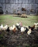 gallos Fotos de archivo libres de regalías