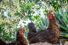 gallos Imagen de archivo libre de regalías