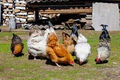 Gallos coloridos que picotean las semillas en la hierba en la yarda fotografía de archivo