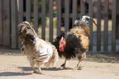 Gallos de pelea Foto de archivo libre de regalías