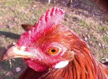 Gallos hed Fotografía de archivo libre de regalías