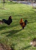 Gallos listos para una batalla Imagen de archivo