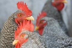Gallos que sientan el sol Imagen de archivo libre de regalías