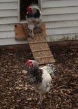 Gallos y casa de gallina Fotos de archivo libres de regalías