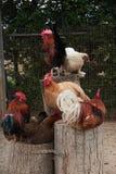 Gallos y gallinas Fotos de archivo