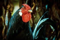 Gallos y pollos Fotografía de archivo