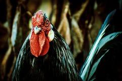 Gallos y pollos Imágenes de archivo libres de regalías