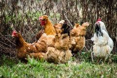 Gallos y pollos Fotografía de archivo libre de regalías
