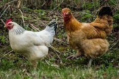 Gallos y pollos Foto de archivo libre de regalías