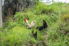 Gallos y pollos en las calles de Estambul foto de archivo libre de regalías