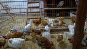 Gallos y pollos jovenes en casa de gallina metrajes