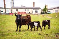 Galloway łydka na paśniku i krowa Zdjęcie Stock
