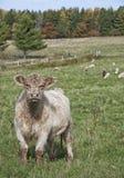 Galloway αγελάδα Στοκ φωτογραφία με δικαίωμα ελεύθερης χρήσης