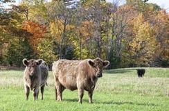 Galloway αγελάδες Στοκ Εικόνα