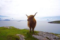 Galloway σε έναν απότομο βράχο στη Σκωτία Στοκ Φωτογραφία