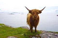 Galloway auf einer Klippe in Schottland Lizenzfreies Stockbild