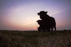 Galloway, Galloway βοοειδή, Bos taurus s στοκ εικόνες με δικαίωμα ελεύθερης χρήσης